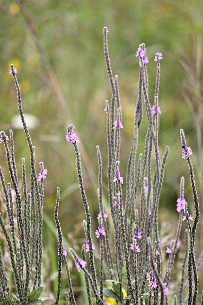 flowerweed